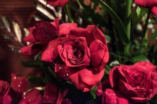 صورة صور ورد صور ورود , اجمل الورد والزهور بالصور