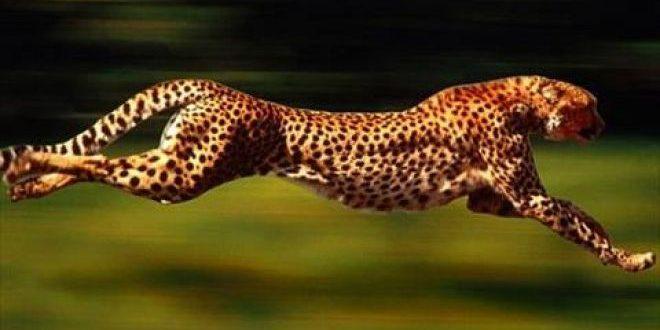 صور اسرع حيوان في العالم , بالصور اسرع حيوان فى العالم