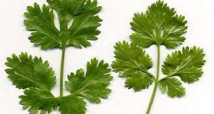 صور الفرق بين البقدونس والكزبرة , كيف تفرقى بين الخضروات الورقية
