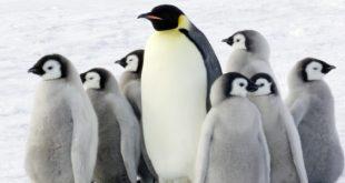 صور معلومات عن البطريق للاطفال , معلومات مشوقة عن طائر لايطير