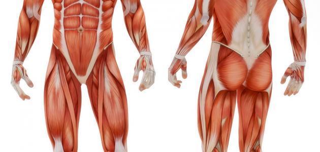 صورة اجهزة جسم الانسان بالصور , ماهي الاجهزه التي يتكون منها الجسم البشري