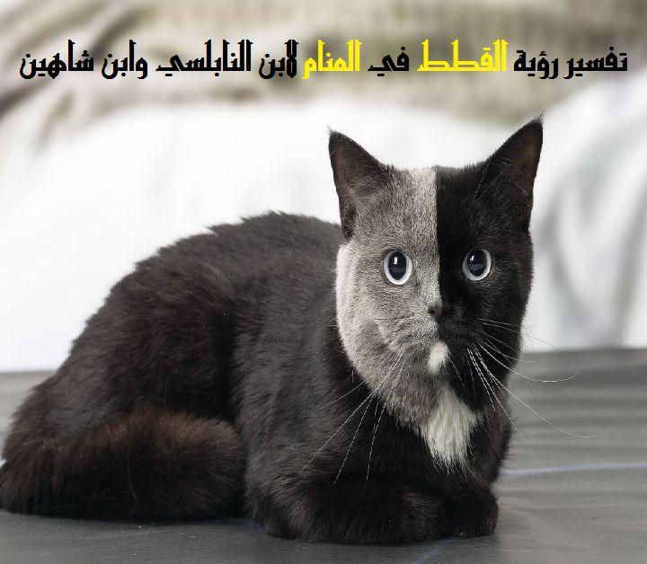 صور حلمت اني اطعم قطة , تفسير رؤيه القطه في الحلم