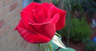 صور رمزيات ورد احمر , صور ورود حمراء جميله