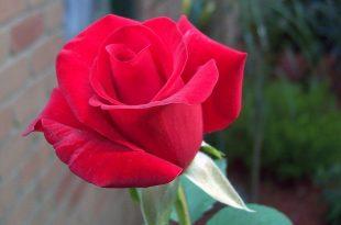 صورة رمزيات ورد احمر , صور ورود حمراء جميله