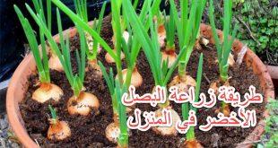 صورة زراعة البصل في المنزل , بالخطوات طريقه زراعه البصل فالبيت
