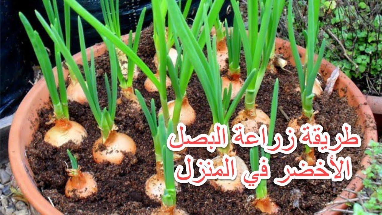 صور زراعة البصل في المنزل , بالخطوات طريقه زراعه البصل فالبيت