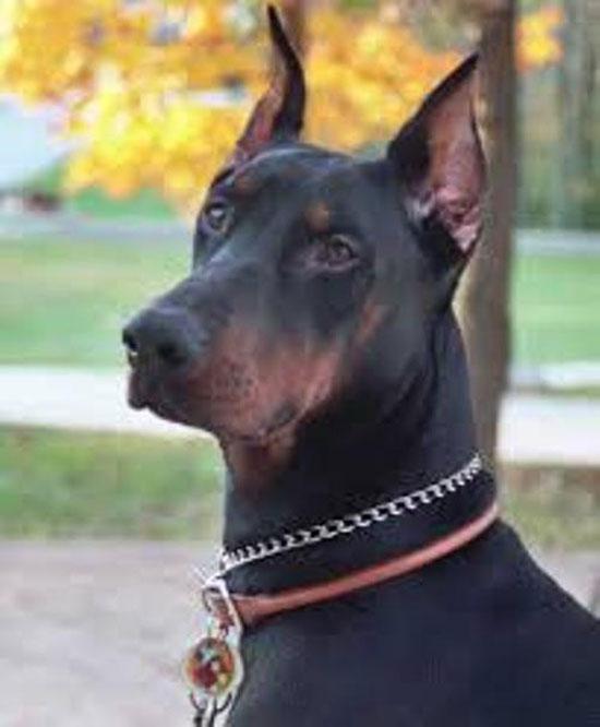 صورة صور كلب دنوار , صور نادرة لكلب دنوار