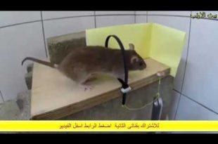 صور كيف اتخلص من الفار في البيت , طرق مختلفه للتخلص من الفئران