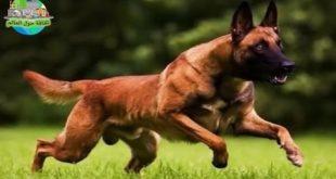 احسن كلاب في العالم , اقوي و اجمل كلاب