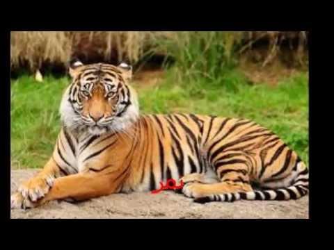 صورة حيوانات غير اليفة , بالصور تعرف على انواع الحيوانات المفترس