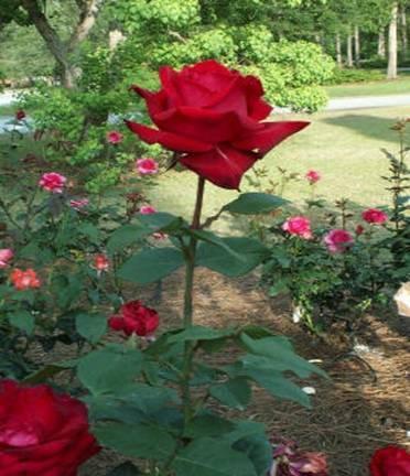 صورة كيف زراعة الورد , زراعه الورد بخطوات بسيطه