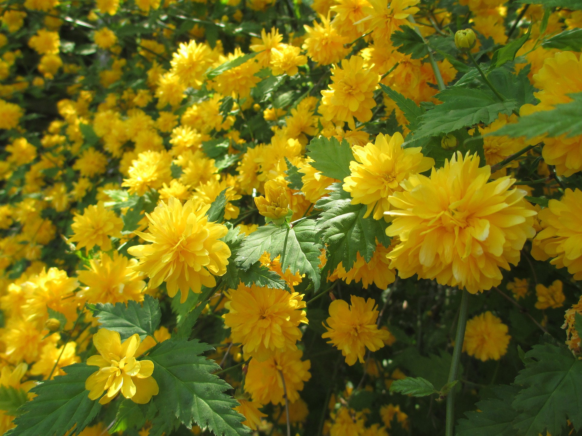 صور صور ورد اصفر , خلفيات ورد اصفر للكمبيوتر