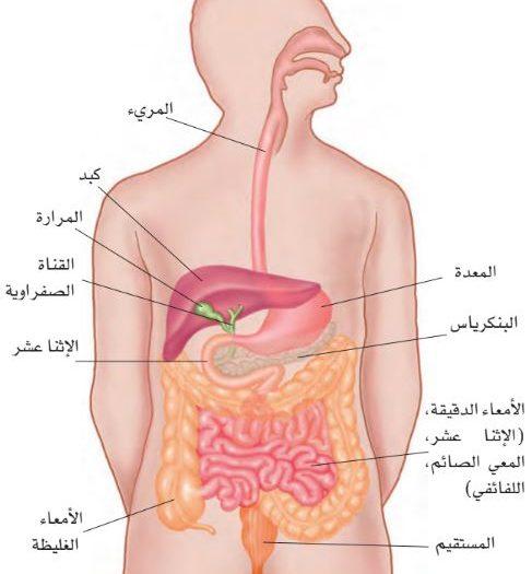 صور شكل الجهاز الهضمي , مما يتكون الجهاز الهضمي