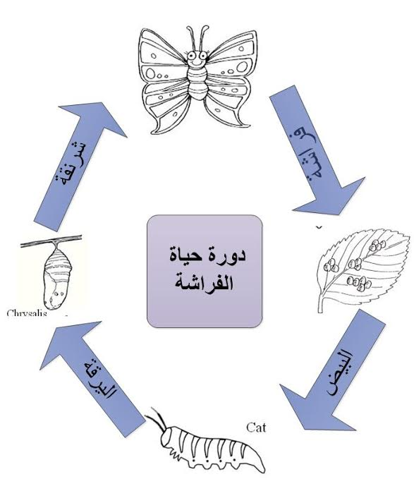 صورة دورة حياة الفراشة بالصور , مراحل تكون الفراشه