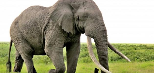 صورة ما هو صوت الفيل , بما يسمي صوت الفيل
