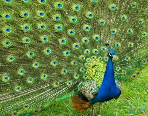 صورة تفسير رؤية الطاووس في المنام , معني الطاووس في الحلم