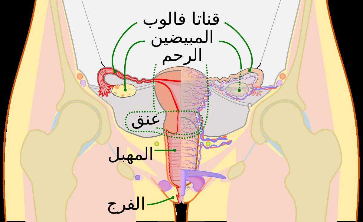 صورة شكل عنق الرحم قبل الدورة , هل يتغير شكل عنق الرحم قبل الدوره