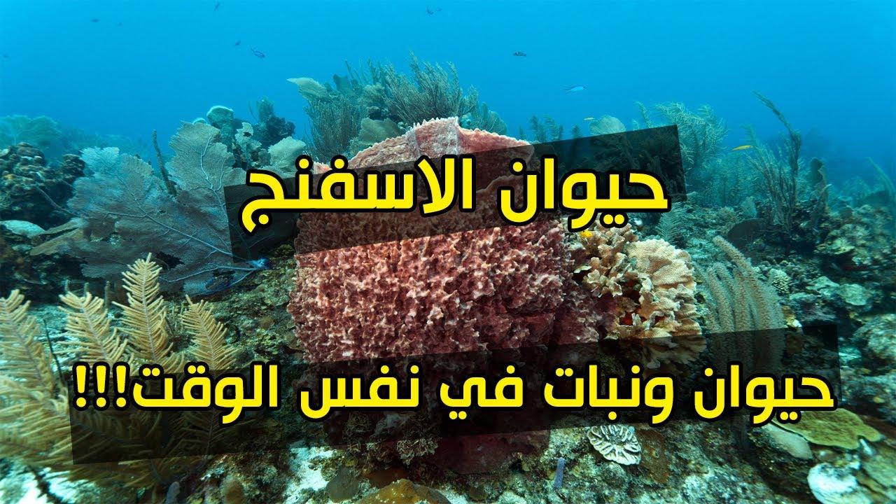 صور حيوان اعتقد الناس قديما انه نبات , معلومات عن اسفنج البحر