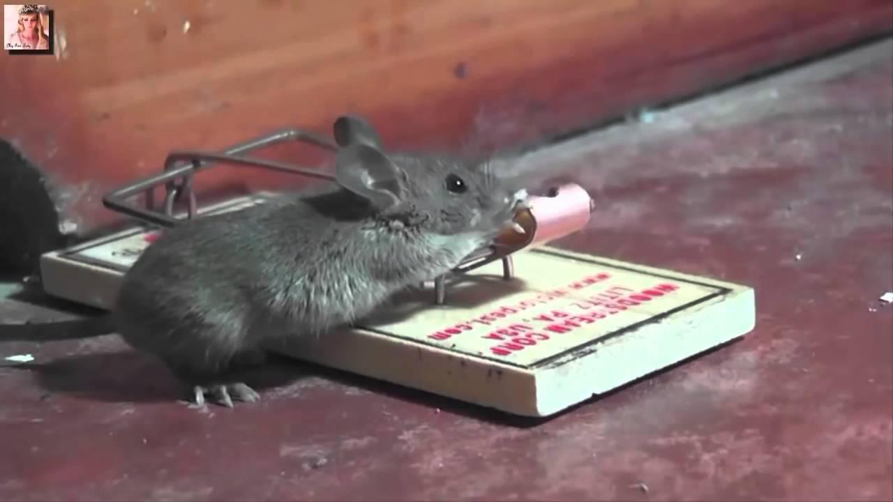 صورة كيف اتخلص من الجرذان , اتخلصى من الفئران فى المنزل بكل سهولة 2498 2