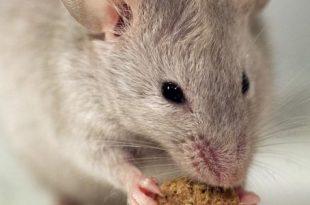 صور كيف اتخلص من الجرذان , اتخلصى من الفئران فى المنزل بكل سهولة