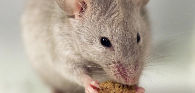 صورة كيف اتخلص من الجرذان , اتخلصى من الفئران فى المنزل بكل سهولة