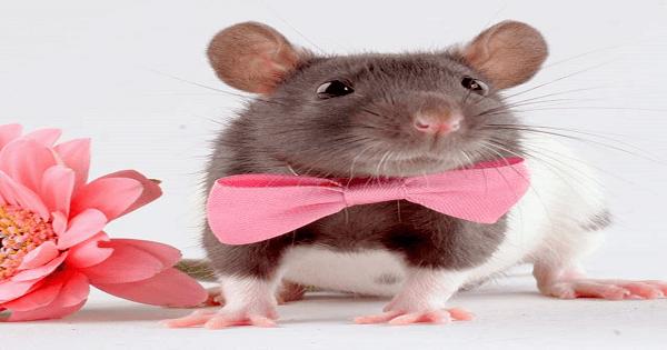 صورة كيف اتخلص من الجرذان , اتخلصى من الفئران فى المنزل بكل سهولة 2498