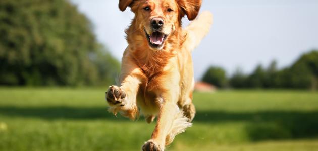 صور الكلب في البيت , هل تربية الكلاب فى المنزل حلال ام حرام