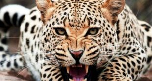 صورة اجمل صور حيوانات مفترسه , خلفيات لاخطر الحيوانات فى العالم