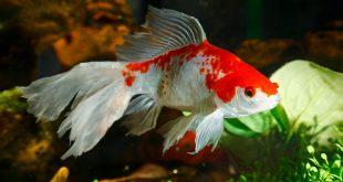 صورة صور سمك الزينة , احلى اشكال لسمك الزينه