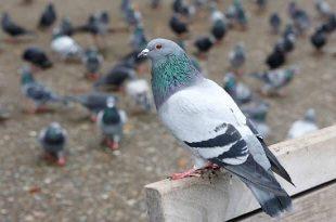 صورة الحمام في الحلم , ما هى الدلالات التى تتعلق برؤية الطيور فى المنام ؟
