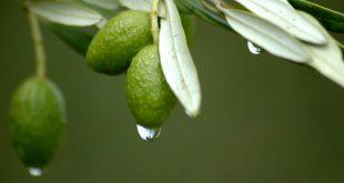 صورة فوائد ورق الزيتون المغلي , ورق الزيتون والمفاجاه عند غليه