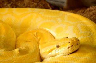 صورة الثعبان الاصفر في المنام , تفسير الثعبان ولونه فى المنام
