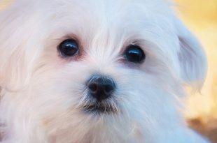 صورة تفسير الكلب الابيض في المنام , الكلب الابيض وتفسيرة فى منامك