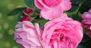 صورة ورد لون وردي , اللون الوردى فى الورد
