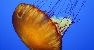 صورة معلومات عن قنديل البحر،اهم ما يميز القنديل عن باقي المخلوقات البحريه