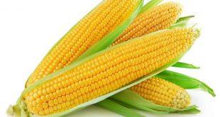صورة الفرق بين الذرة البيضاء والذرة الصفراء،مميزات الذره الشاميه و الذره الرفيعه