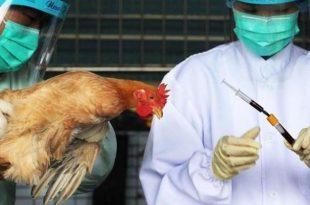 صورة علاج انفلونزا الطيور، اسباب و اعراض انفلونزا الطيور